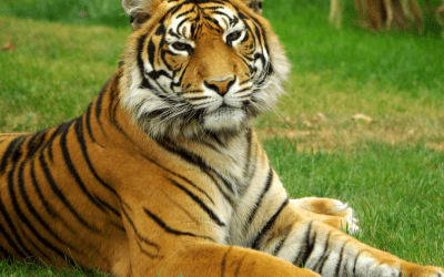 World Tiger Day EYFS